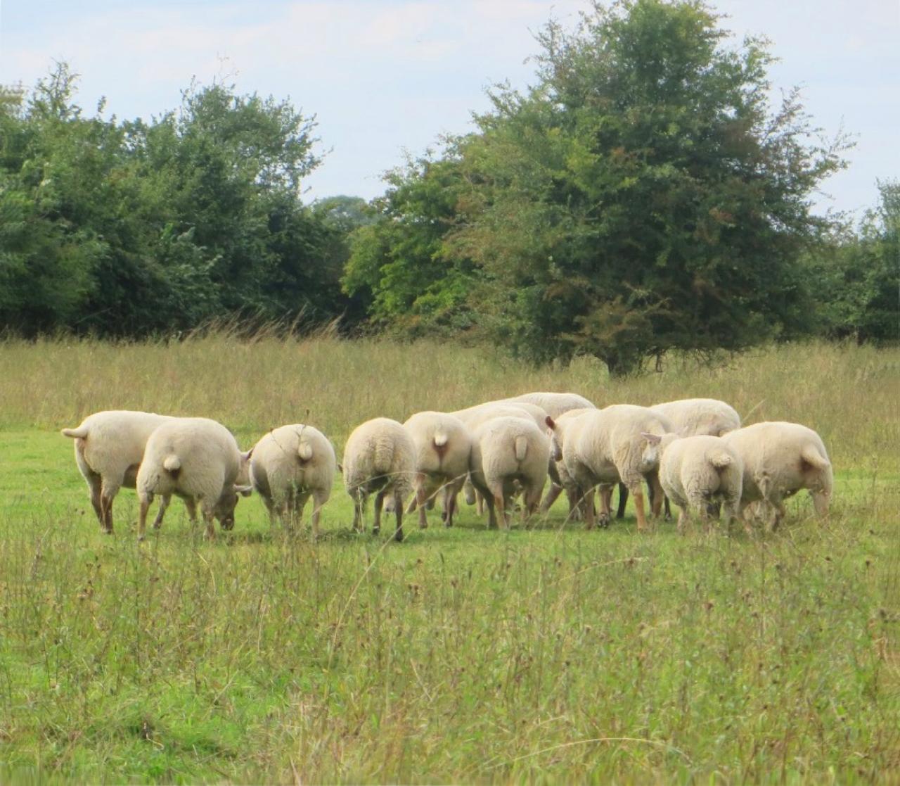 135 winks sheep