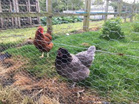 18_chickens02